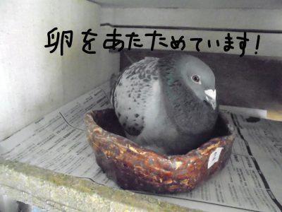 鳩が卵を産みました!