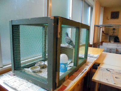 体調管理のため鳩を隔離しました