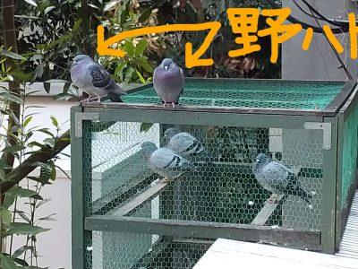 野鳩が2羽、遊びに来ています