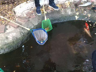 鯉池の掃除をしました!
